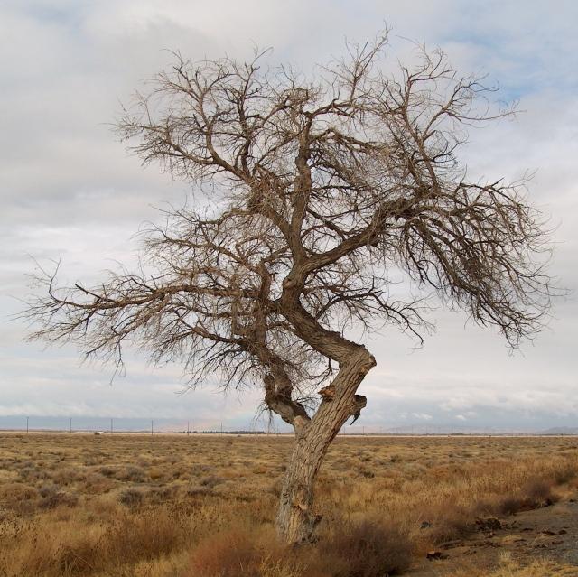 2o tree along sierra hwy